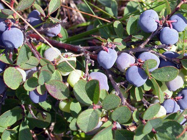 Плодоносящая садовая голубика