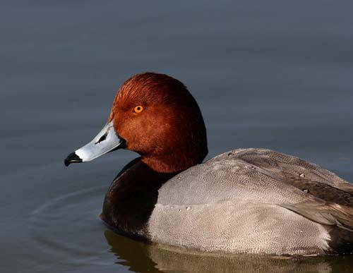 Hunting redhead ducks
