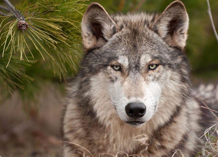 SOUND: http://www.ruspeach.com/en/news/12862/     Волк является удивительно загадочным хищником. Он опасен для человека и предан своей стае. Впереди стаи всегда идет вожак. Мозг у волка на 30% больше чем у собаки, поэтому волк способен запоминать больше информации. Окрас волков часто соответствует тем местам, в которых они обитают. Все волчата при рождении имеют голубые глаза, но через 2-4 месяцев они становятся золотисто-желтыми. Только в редких случаях у волков остаются гол