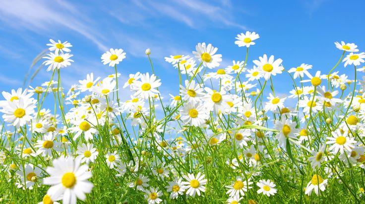 Margherite bianche; cielo; prato; fiori, foto