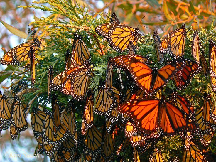 monarch-butterflies-gloucester-massachusetts-c2a9kim-smith-2006.jpg (2816×2112)