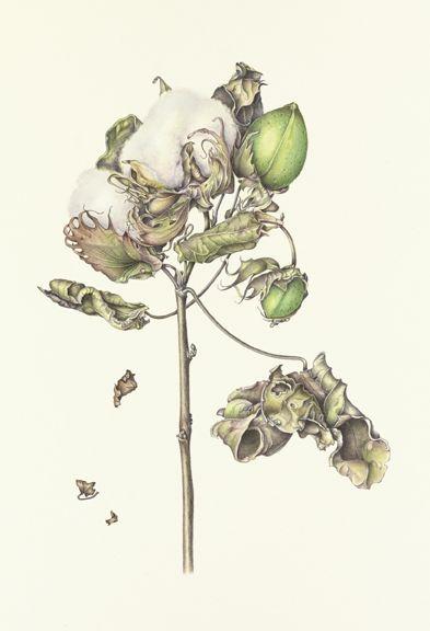 Cotton, Gossypium herbaceum © 2010 Esther Klahne, watercolor on paper