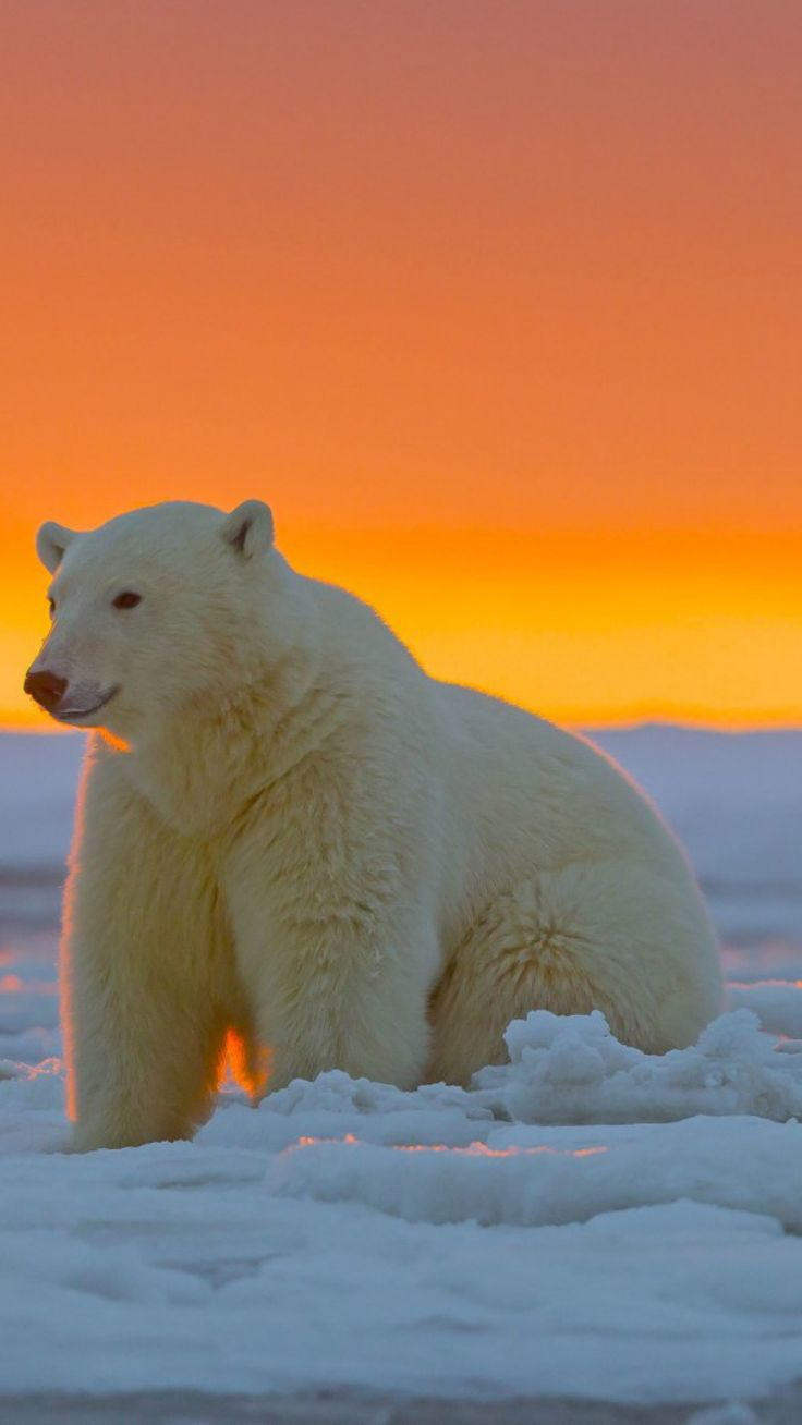 polar bear, alaska, snow                                                                                                                                                                                 More