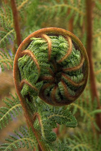 New Zealands nature . Young fern (Koru)