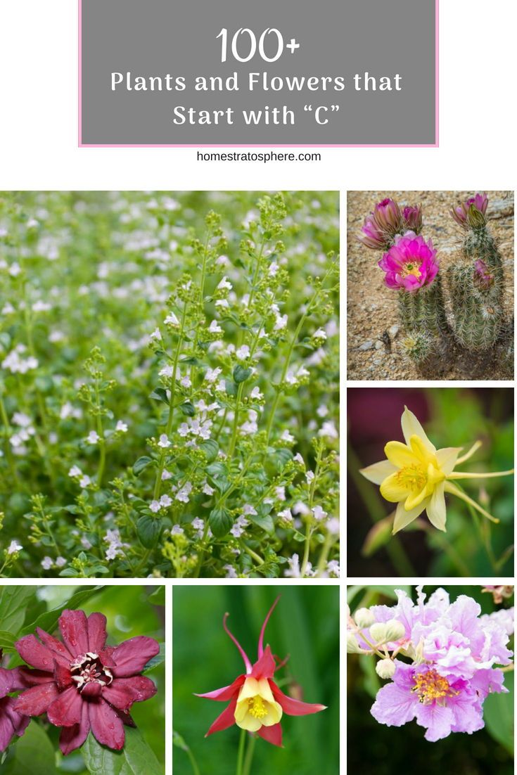 100 Plants And Flowers That Start With C Plants Flowers