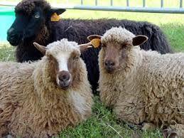 Finull sheep