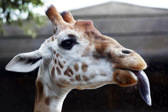 Fun Facts About Africa's Wildlife: Giraffe Have Blue Tongues
