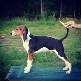 American Foxhound Dog Breed Information - American Kennel Club
