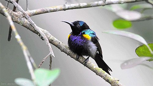 becausebirds:  The beautiful Handsome Copper-throated Sunbird! It even has handsome in its name.