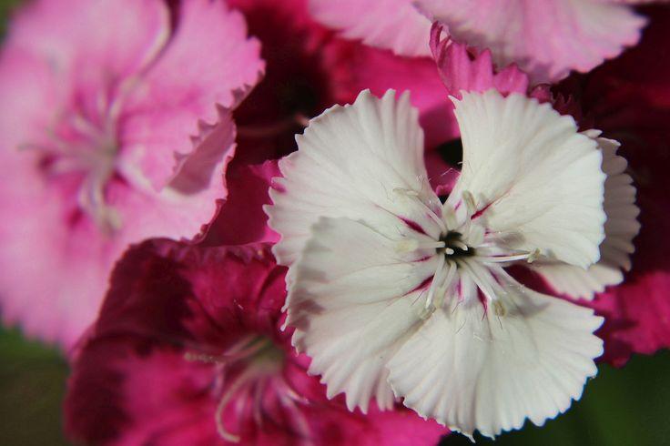 Dianthus by Annitta Vith Jensen on 500px