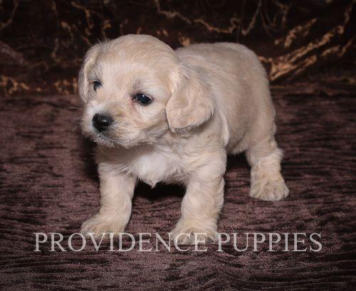 Cavapoo Puppy For Sale In Wayland Ia Adn 70776 On Puppyfinder