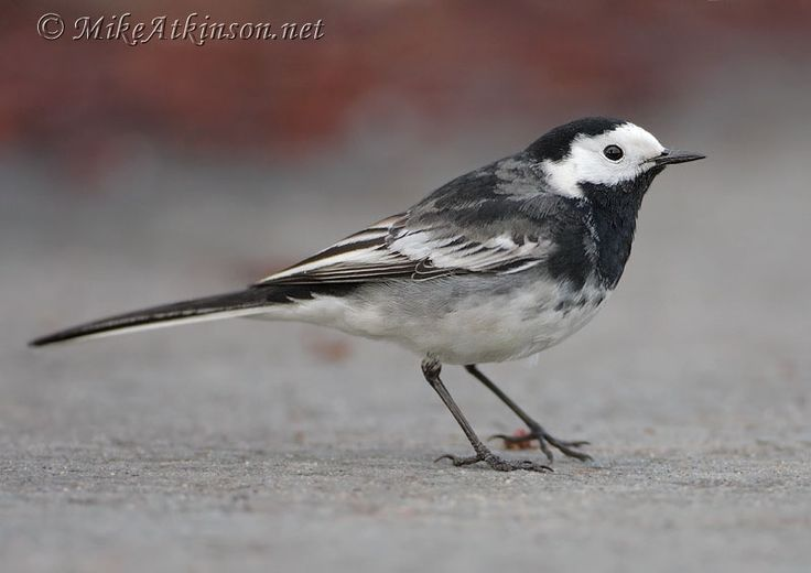 Pied Wagtail Spotted in Taunton town centre  on 13/01/17