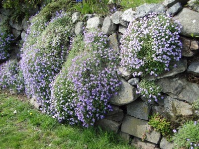 Blue phlox on stone wall in garden, Victoria, BC, Canada