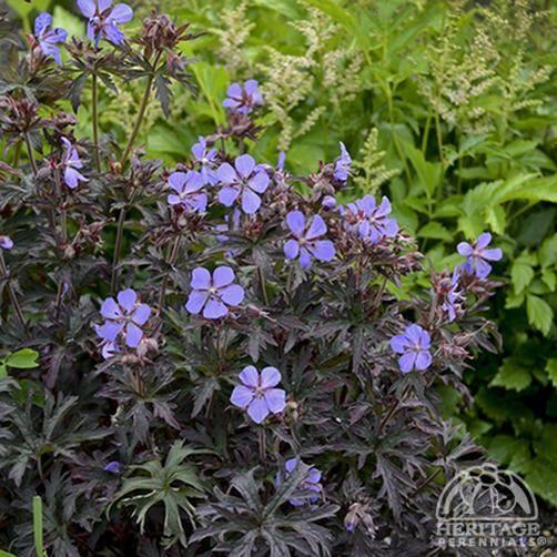 Plant Profile for Geranium pratense 'Dark Reiter' - Meadow Cranesbill Perennial