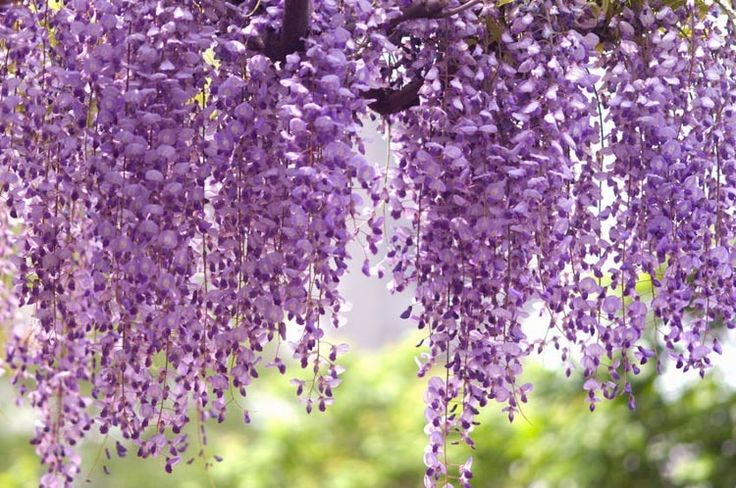 Wisteria Floribunda Royal Purple Japanese Wisteria Royal Purple Japanese Wisteria Fragrant Vine Purple Flo Purple Wisteria Flower Landscape Purple Flowers