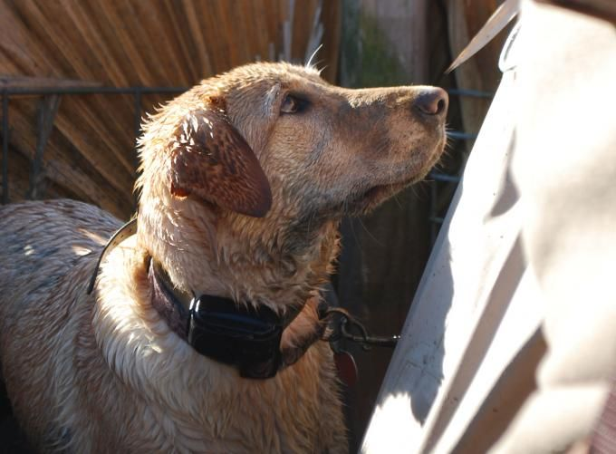 Best Waterfowl Dog Training Program