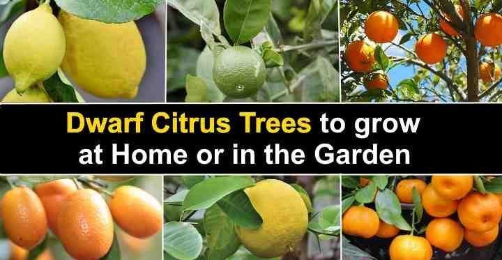 82dfa0d56dfdc8c014a69fe219fa19c5 - Growing Citrus The Essential Gardener's Guide