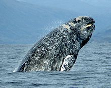 Gray whale - Wikipedia, the free encyclopedia