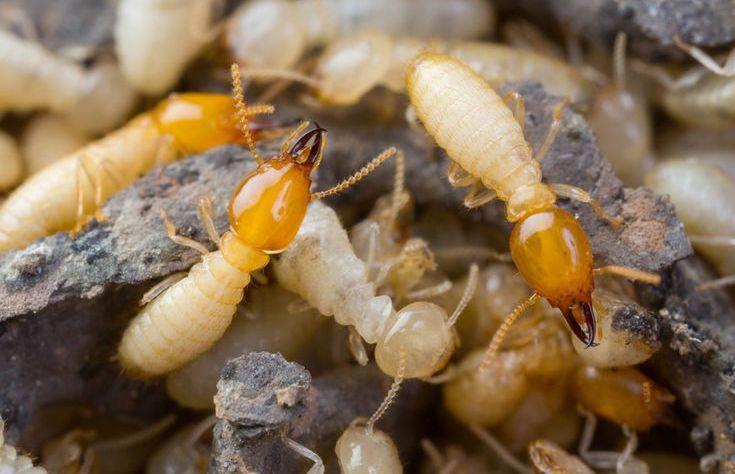 Como Acabar Con Las Termitas Como Deshacerse De Las Termitas Naturalmente En El Hogar