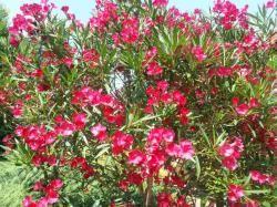 Oleander - pestovanie Oleandrov - Vaše rady a tipy - Ako sa to robí.sk