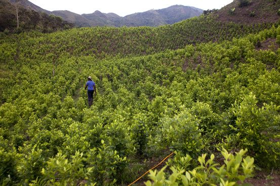 Cultivation of Coca, the Leaf Used to Make Cocaine, Soars Anew in Colombia    - WSJ