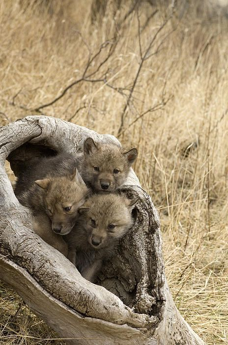 Young Timber Wolves by Carol Gregory