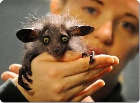 The Aye-aye is a lemur, a strepsirrhine primate native to Madagascar that combines rodent-like teeth with a long, thin middle finger to fill the same ecological niche as a woodpecker. The Aye-aye is the only extant member of the genus Daubentonia and family Daubentoniidae (although it is currently classified as Near Threatened by the IUCN); a second species, Daubentonia robusta, appears to have become extinct at some point within the last 1000 years.