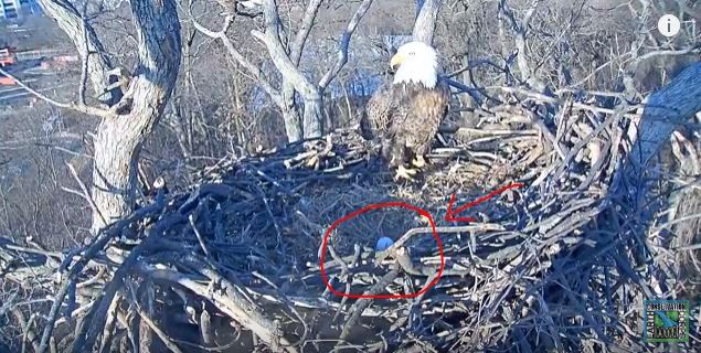 It's hatched! A baby bald eagle emerges from its nest in D.C.