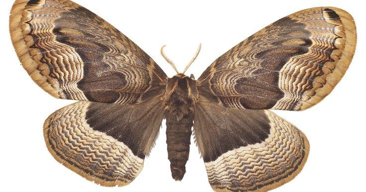 ¿Qué comen las polillas en la naturaleza?. Las polillas son miembros del orden de insectos lepidópteros, junto con las mariposas. Hay más de 100.000 especies de mariposas de todo el mundo y cada especie llena un importante nicho ecológico. Aunque son principalmente nocturnas, algunas polillas están activas durante el día y hay pocas reglas absolutas de conducta que se aplican a todas las ...
