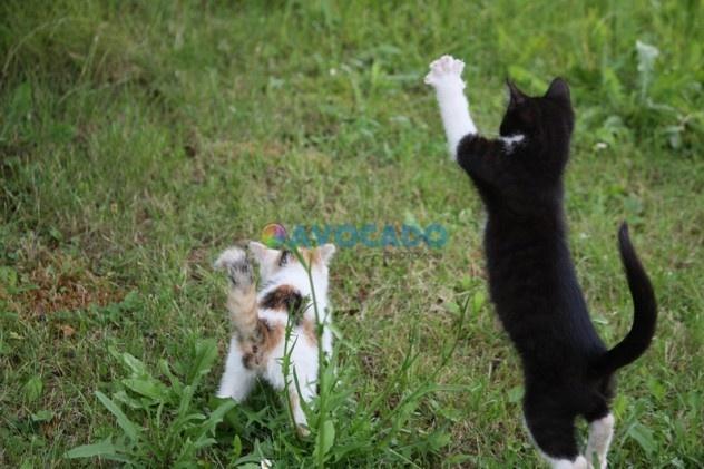 Kittys white black