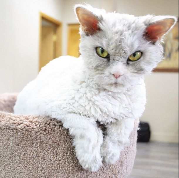 a Selkirk Rex, a rare cat breed known for its soft tufted and curly fur.""