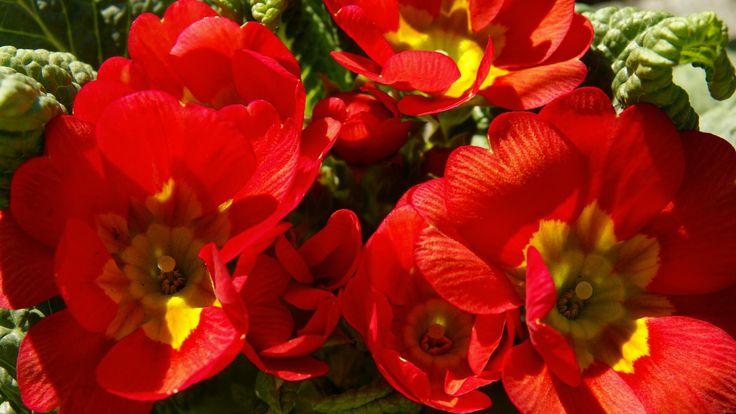 Large-Red-Flower-Wallpaper-hd for desktop