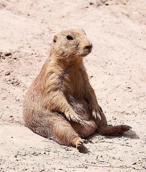 168 Best Prairie Dogs Images On Pinterest