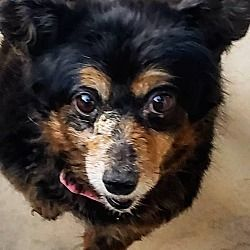 Las Vegas Nevada Dachshund Meet Pebbles A For Adoption Https Www Adoptapet Com Pet 28307268 Las Vegas Nevada Dachs In 2020 Dachshund Adoption Pets Dog Adoption