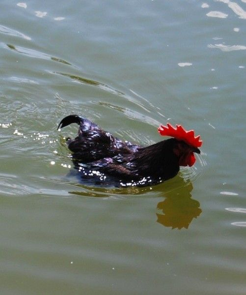 1000 images about the hen house on pinterest chicken for Swimming chicken