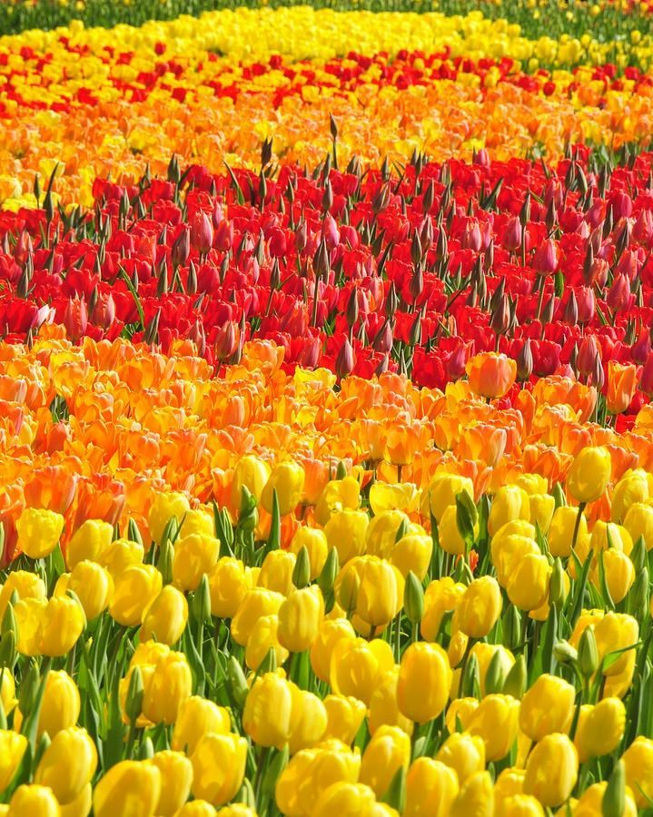 A Sea of Tulips at Longwood Gardens in Kennett Square, Pennsylvania