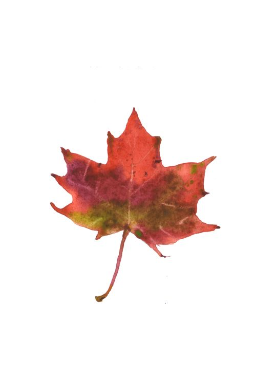 maple leaf, watercolor olgainoue.com