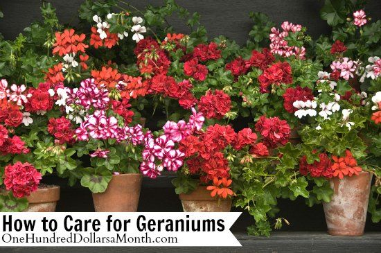 How to Care for Geraniums on $100 A Month at http://www.onehundreddollarsamonth.com/how-to-care-for-geraniums/