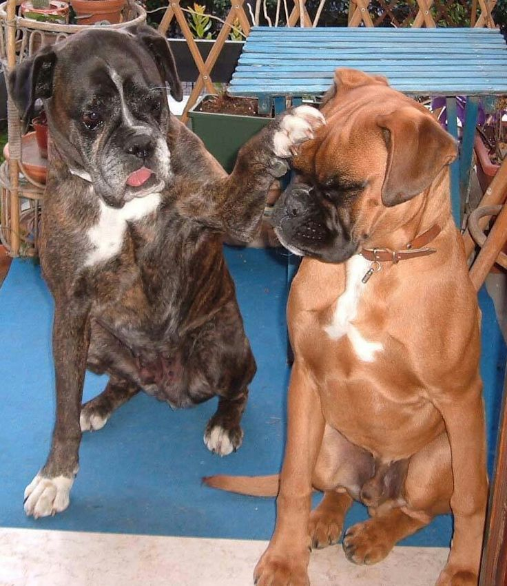 Bulldog friends