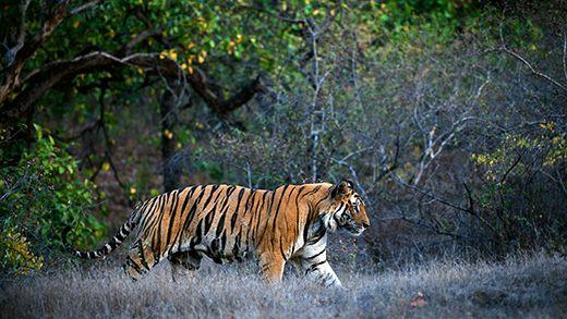 Utrolige opplevelser på tigersafari i India - Tiger safari in India #safari #travel http://travels.kilroy.no/destinasjoner/asia/india/safari