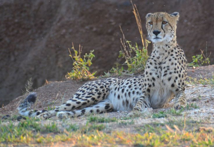 Cheetah, Manyeleti, South Africa. #Cheetah #Gepard #Manyeleti #GreaterKruger #KhokaMoyaCamp #HenryRasmussen