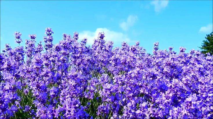 Lavender flowers in the breeze
