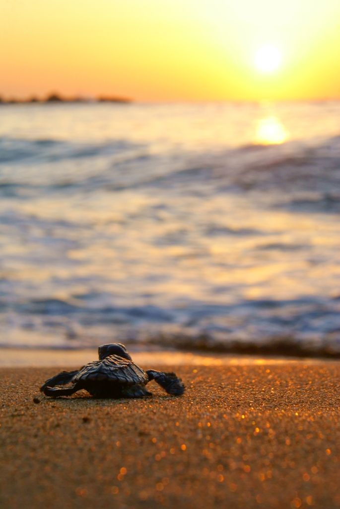 baby sea turtle sunset - Google Search