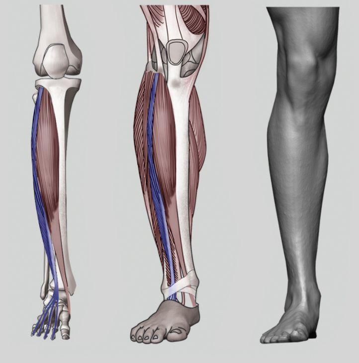 622 best anatomy images on Pinterest   Anatomie, Beleza und Nagelkunst