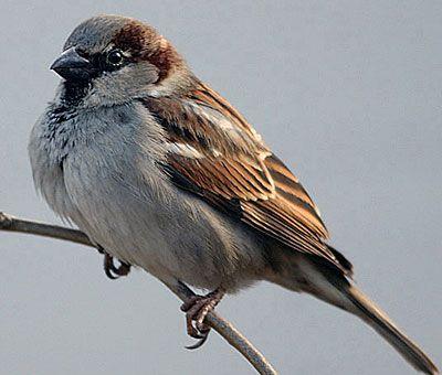 Old World Sparrow-House Sparrow