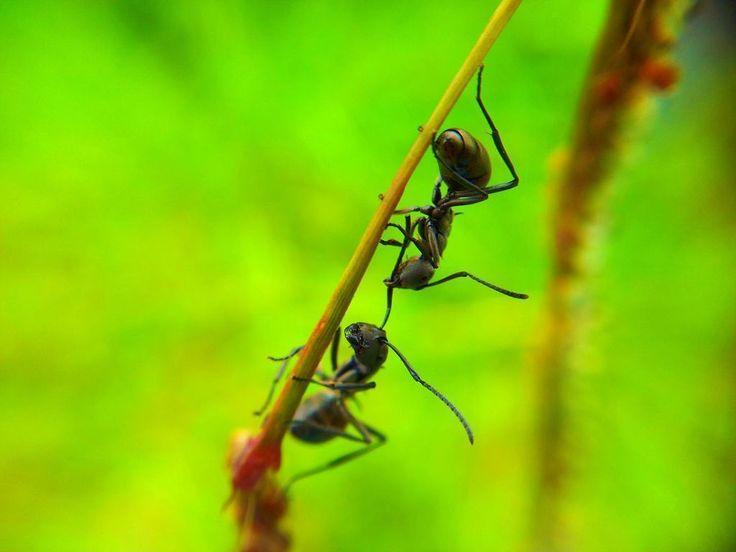 formigas pretas