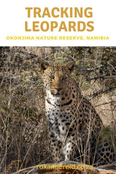 Tracking leopards at Okonjima Nature Reserve #Namibia #leopards #travel #Africa