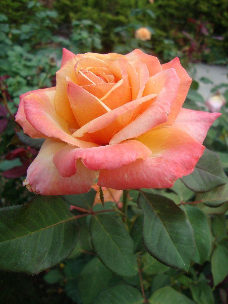 ~'Tahitian Sunset'   Hybrid Tea rose