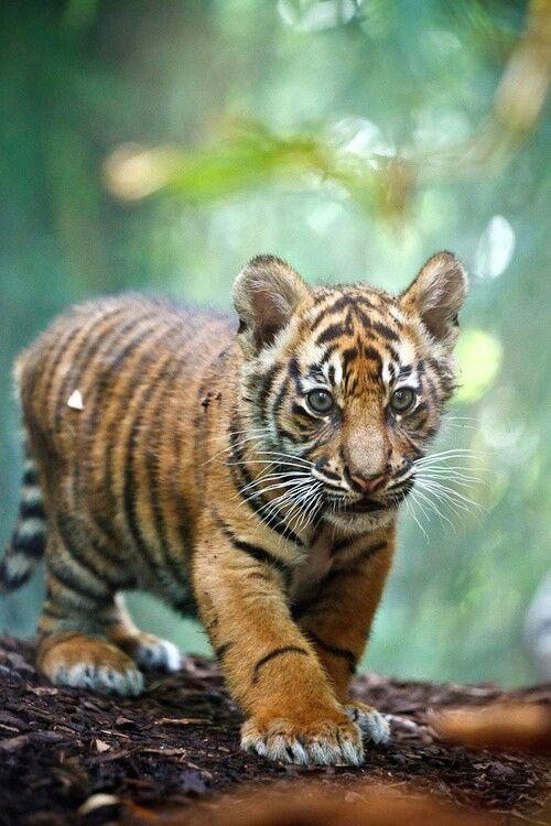 31 best tigres bebes images on pinterest baby tigers - Bebe tigre mignon ...