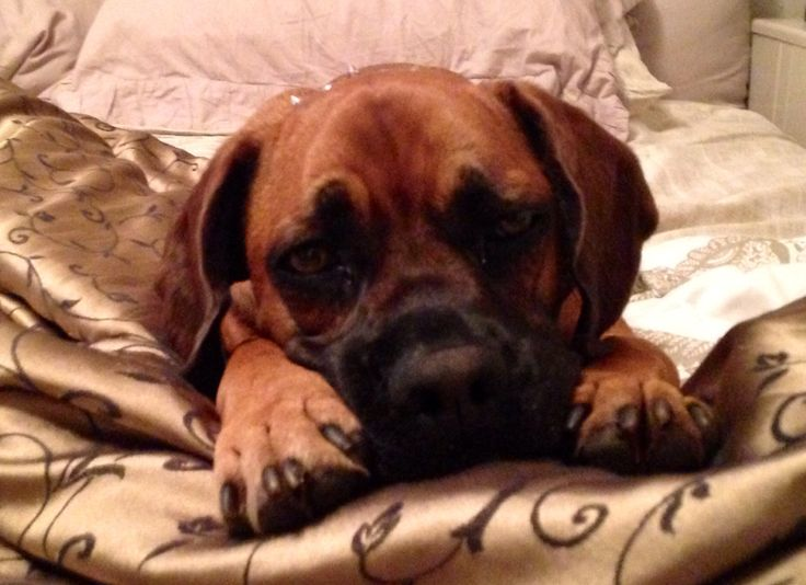Boxer sad face. Pets Pinterest Sad faces, Faces and